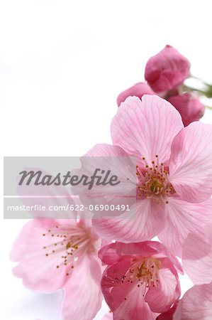 Cherry blossoms Stock Photo - Premium Royalty-Free, Image code: 622-06900491