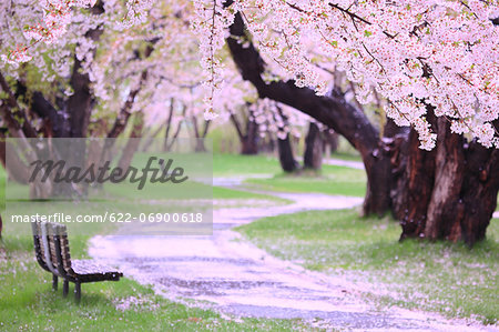 Cherry blossoms and bench Stock Photo - Premium Royalty-Free, Image code: 622-06900618