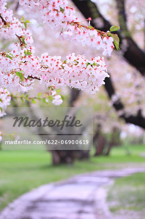 Cherry blossoms Stock Photo - Premium Royalty-Free, Image code: 622-06900619