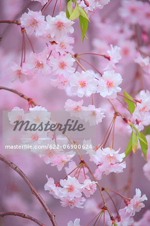 Cherry blossoms Stock Photo - Premium Royalty-Free, Image code: 622-06900624