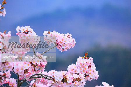 Cherry blossoms Stock Photo - Premium Royalty-Free, Image code: 622-06900628