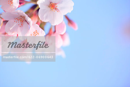 Cherry blossoms and sky Stock Photo - Premium Royalty-Free, Image code: 622-06900643