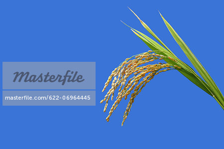Rice ears and blue sky Stock Photo - Premium Royalty-Free, Image code: 622-06964445