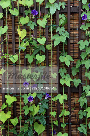 Morning glory Stock Photo - Premium Royalty-Free, Image code: 622-07108654