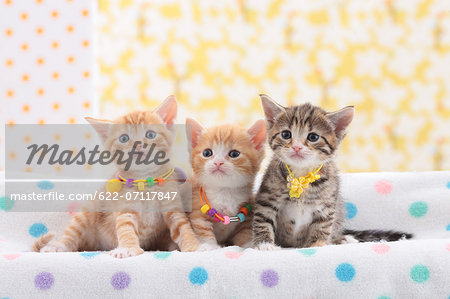Munchkin pets Stock Photo - Premium Royalty-Free, Image code: 622-07117847