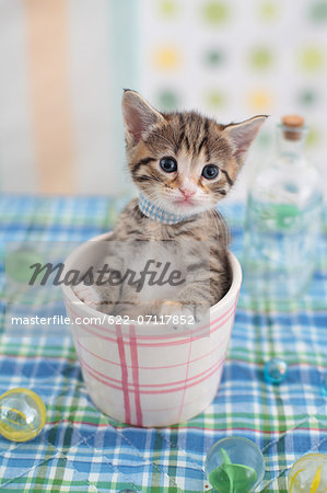 Munchkin Stock Photo - Premium Royalty-Free, Image code: 622-07117852