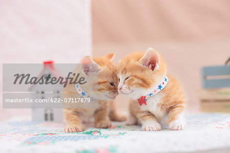 Munchkin pets Stock Photo - Premium Royalty-Free, Image code: 622-07117879