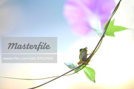 Frog on morning glory Stock Photo - Premium Royalty-Free, Image code: 622-07117905