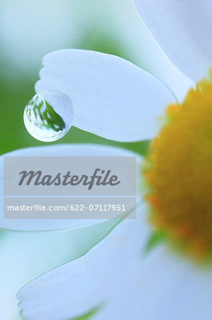 Water droplet on lawn daisy Stock Photo - Premium Royalty-Free, Image code: 622-07117951