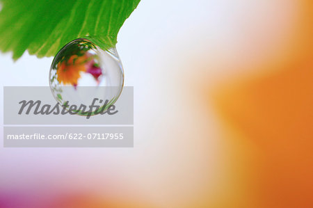 Water droplet on leaf Stock Photo - Premium Royalty-Free, Image code: 622-07117955