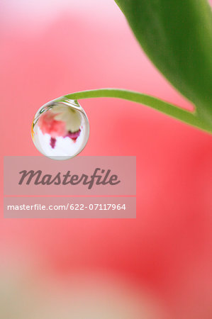Water droplet on leaf Stock Photo - Premium Royalty-Free, Image code: 622-07117964