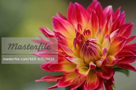 Dahlia Stock Photo - Premium Royalty-Free, Image code: 622-07519630