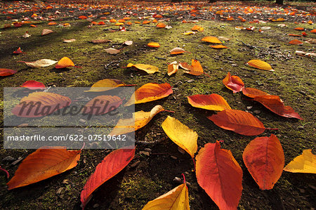 Autumn leaves Stock Photo - Premium Royalty-Free, Image code: 622-07519642