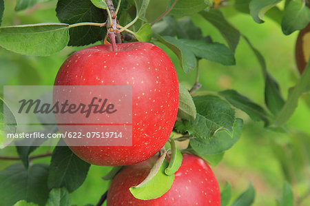Apples Stock Photo - Premium Royalty-Free, Image code: 622-07519714