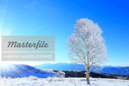 Rimed tree Stock Photo - Premium Royalty-Free, Image code: 622-07519893