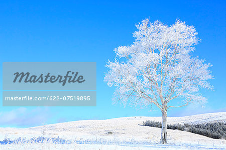 Rimed tree Stock Photo - Premium Royalty-Free, Image code: 622-07519895