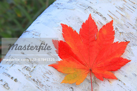 Autumn leaf Stock Photo - Premium Royalty-Free, Image code: 622-07841325