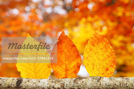 Autumn leaves Stock Photo - Premium Royalty-Free, Image code: 622-07841335