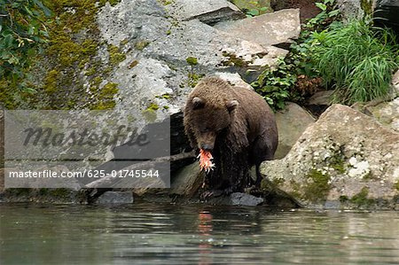 Grizzly bear (Ursus arctos horribilis) eating a salmon Stock Photo - Premium Royalty-Free, Image code: 625-01745544
