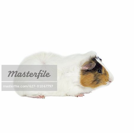Close up of a guinea pig Stock Photo - Premium Royalty-Free, Image code: 627-01067797