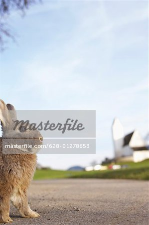 Grey rabbit sitting on a road, selective focus Stock Photo - Premium Royalty-Free, Image code: 628-01278653