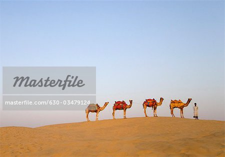 Four camels standing in a row with a man, Jaisalmer, Rajasthan, India Stock Photo - Premium Royalty-Free, Image code: 630-03479124