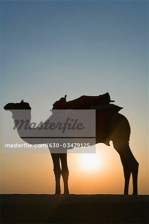 Silhouette of a camel standing, Jaisalmer, Rajasthan, India Stock Photo - Premium Royalty-Free, Image code: 630-03479125