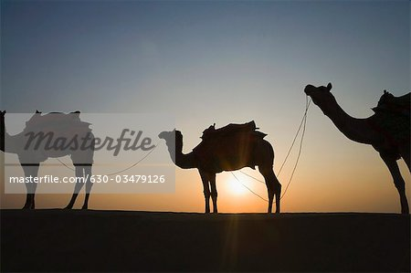 Silhouette of three camels standing in a row, Jaisalmer, Rajasthan, India Stock Photo - Premium Royalty-Free, Image code: 630-03479126