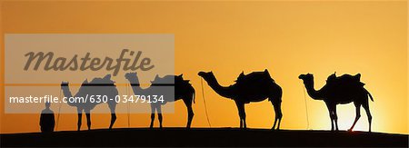 Silhouette of four camels standing in a row at sunset, Jaisalmer, Rajasthan, India Stock Photo - Premium Royalty-Free, Image code: 630-03479134