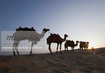 Low angle view of a person standing with four camels, Sam Desert, Jaisalmer, Rajasthan, India Stock Photo - Premium Royalty-Free, Image code: 630-03479136