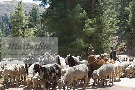 Group of animals on the road, Sanasar, Jammu and Kashmir, India Stock Photo - Premium Royalty-Free, Image code: 630-03479333
