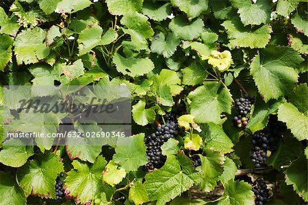 Grapevine, full frame Stock Photo - Premium Royalty-Free, Image code: 632-02690346