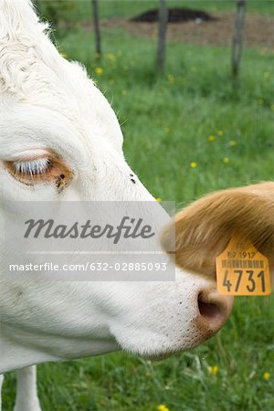 White cow nuzzling another cow's tagged ear, cropped Stock Photo - Premium Royalty-Free, Image code: 632-02885093