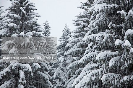 Snow-covered fir trees Stock Photo - Premium Royalty-Free, Image code: 632-03847881