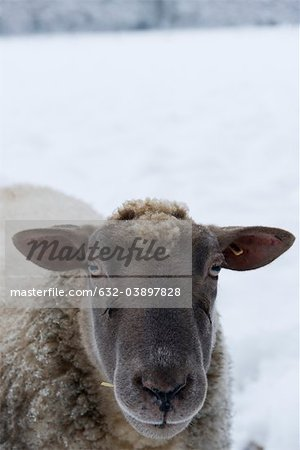 Sheep looking at camera, close-up Stock Photo - Premium Royalty-Free, Image code: 632-03897828