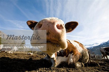 Cow's snout, close-up Stock Photo - Premium Royalty-Free, Image code: 632-03897977