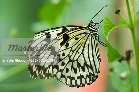 Paper kite butterfly (Idea leuconoe) Stock Photo - Premium Royalty-Free, Image code: 632-07161389
