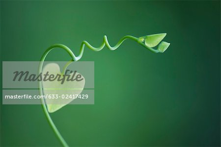 Delicate vine with heart shaped leaves Stock Photo - Premium Royalty-Free, Image code: 633-02417429