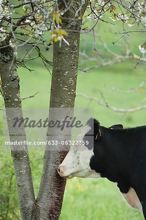 Cow beside tree in pasture Stock Photo - Premium Royalty-Free, Image code: 633-06322359