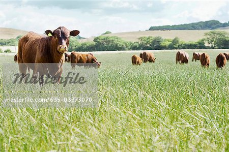 Cows standing in meadow Stock Photo - Premium Royalty-Free, Image code: 635-03373070