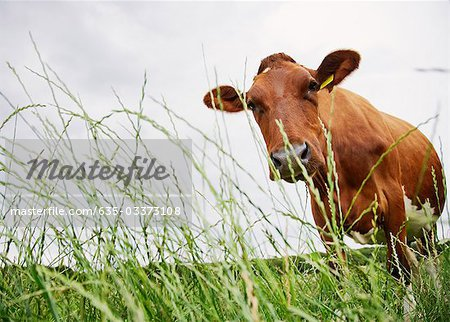 Cow standing in meadow behind grass Stock Photo - Premium Royalty-Free, Image code: 635-03373108