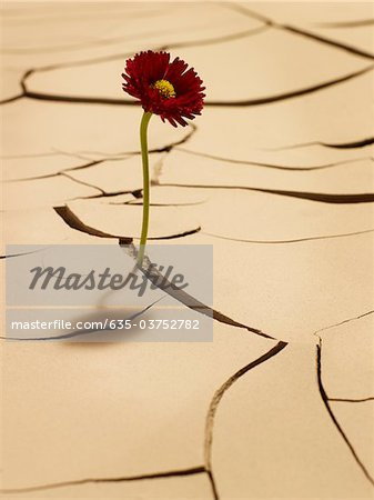 Flower blooming between cracks in mud Stock Photo - Premium Royalty-Free, Image code: 635-03752782