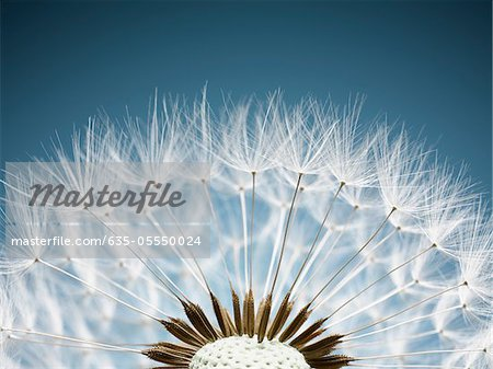 Close up of dandelion spores Stock Photo - Premium Royalty-Free, Image code: 635-05550024