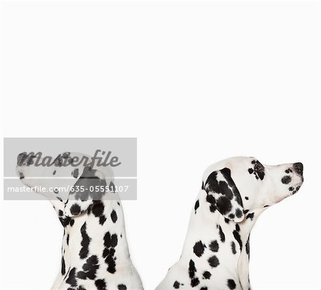 Dalmatians looking in opposite directions Stock Photo - Premium Royalty-Free, Image code: 635-05551107