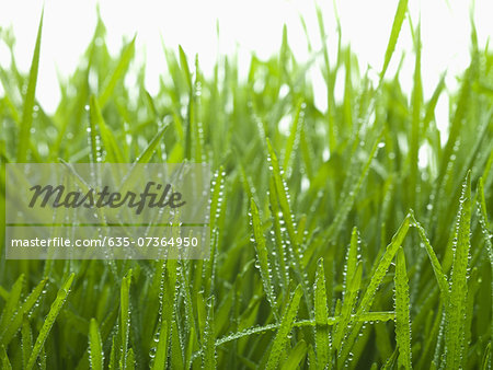 Close up of dew droplets on grass Stock Photo - Premium Royalty-Free, Image code: 635-07364950