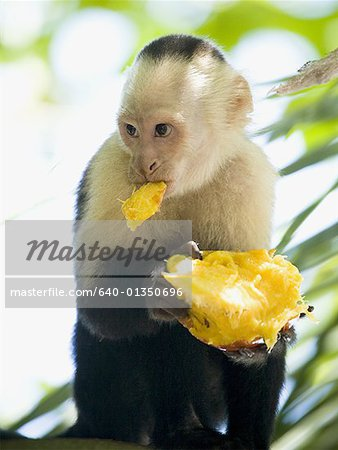 Close-up of a capuchin monkey eating a fruit (Cebus capucinus) Stock Photo - Premium Royalty-Free, Image code: 640-01350696