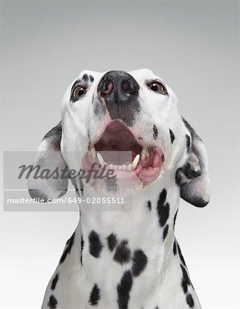 Close up of a Dalmatian dog Stock Photo - Premium Royalty-Free, Image code: 649-02055511