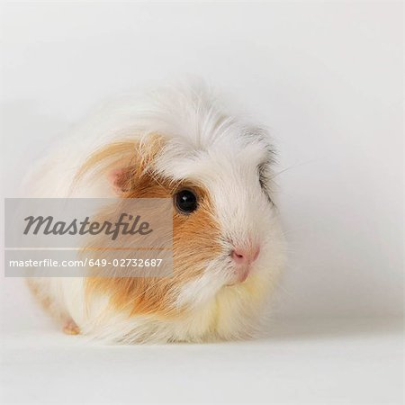 Guinea pig sitting on white background Stock Photo - Premium Royalty-Free, Image code: 649-02732687