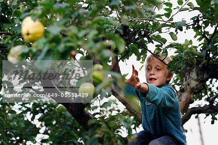 Boy picking fruit in tree Stock Photo - Premium Royalty-Free, Image code: 649-05555429