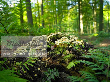 Mushrooms growing on log in forest Stock Photo - Premium Royalty-Free, Image code: 649-05820051